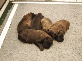 Pups Bella na 1 week