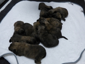 Pups Layda na 1 week